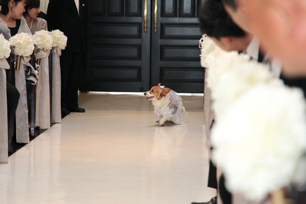 リングドッグ 愛犬ハッピーも緊張しながらの入場